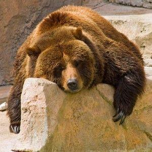 lazy-bear-600x600